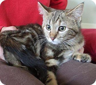 Bengal Kitten for adoption in Lenexa, Kansas - Sheba