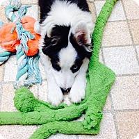 Adopt A Pet :: Pearl (In Idaho) - Salt Lake City, UT