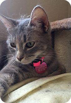 Domestic Shorthair Cat for adoption in Chino Hills, California - Sprinkles