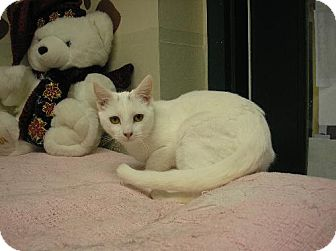 Domestic Shorthair Cat for adoption in Lovingston, Virginia - Sugar