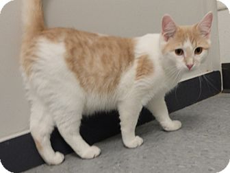 Domestic Shorthair Cat for adoption in Martinsville, Indiana - Kingsley
