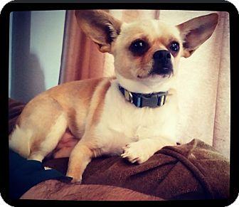 Chihuahua Mix Dog for adoption in Grand Bay, Alabama - Bach