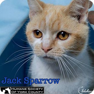 Domestic Mediumhair Cat for adoption in Fort Mill, South Carolina - Jack Sparrow