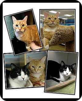Domestic Shorthair Cat for adoption in Atlanta, Georgia - Roxie & Blair