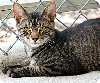 Domestic Shorthair Cat for adoption in Forked River, New Jersey - Newton