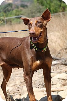 Doberman Pinscher Dog for adoption in Fillmore, California - Julie