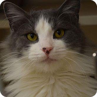 Domestic Longhair Cat for adoption in Denver, Colorado - Freddy