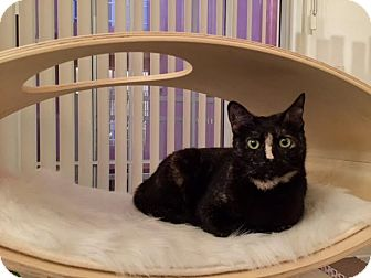 Domestic Shorthair Cat for adoption in Los Angeles, California - Nubia - the perfect cat!