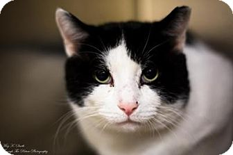 Domestic Shorthair Cat for adoption in Worcester, Massachusetts - Ferdinand--Gentle Giant