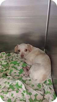 Chihuahua/Beagle Mix Dog for adoption in Westminster, California - Fiddle