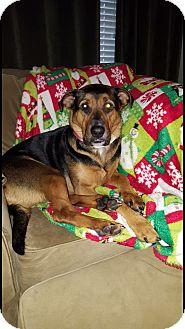 German Shepherd Dog Mix Dog for adoption in Lombard, Illinois - Sadie Mae