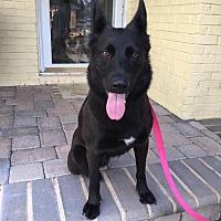 Adopt A Pet :: Velvet - Morrisville, NC