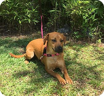 Beagle Mix Dog for adoption in Jacksonville, North Carolina - Sienna