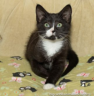 American Shorthair Kitten for adoption in Big Canoe, Georgia - Nina
