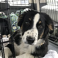 Adopt A Pet :: Duke (COURTESY POST) - Baltimore, MD