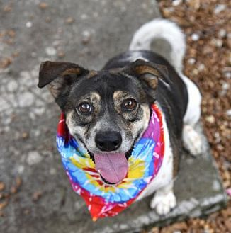 Beagle Mix Dog for adoption in Chattanooga, Tennessee - Cookie