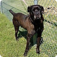 Cane Corso Mix Dog for adoption in Mission, Kansas - Roman Candle