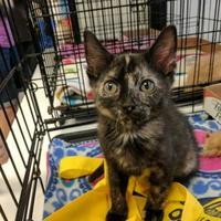 Adopt A Pet :: Summer - Edmond, OK