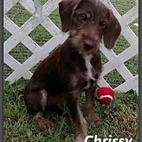 Terrier (Unknown Type, Medium) Mix Puppy for adoption in DeForest, Wisconsin - Chrissy