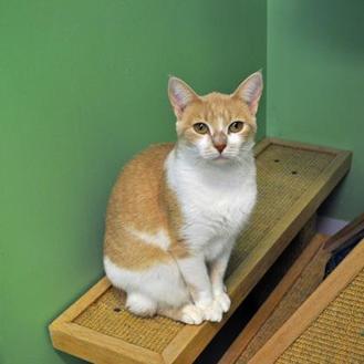 Domestic Shorthair/Domestic Shorthair Mix Cat for adoption in Suwanee, Georgia - Lady Marmalade