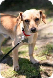 Chihuahua/Dachshund Mix Dog for adoption in West Los Angeles, California - Stanley