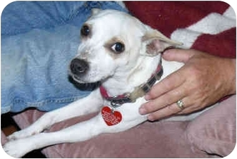 Rat Terrier/Jack Russell Terrier Mix Dog for adoption in Tahlequah, Oklahoma - Nicky