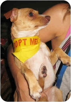 Chihuahua Mix Dog for adoption in Encino, California - Piglet