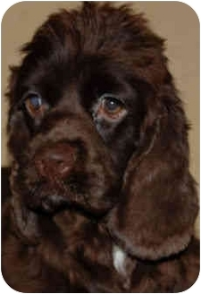 Cocker Spaniel Puppy for adoption in Sugarland, Texas - Grace