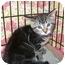 Photo 1 - Domestic Shorthair Kitten for adoption in Colmar, Pennsylvania - Moonlight