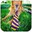 Photo 2 - Golden Retriever Mix Dog for adoption in Houston, Texas - Rocky