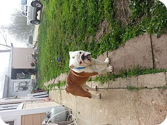 English Bulldog Puppy for adoption in Atascadero, California - Buster