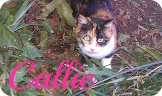 Calico Cat for adoption in Shady Point, Oklahoma - Callie