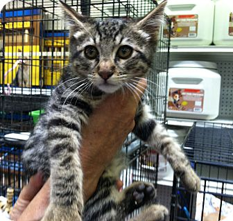Domestic Shorthair Kitten for adoption in Santa Monica, California - Prudence
