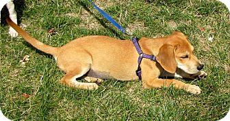 Labrador Retriever/Hound (Unknown Type) Mix Puppy for adoption in Shelter Island, New York - Mindy