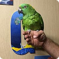 Adopt A Pet :: Pickles - Woodbridge, NJ
