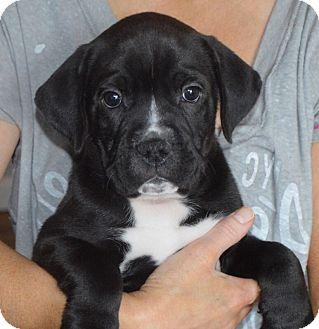 Boxer/Labrador Retriever Mix Puppy for adoption in Portsmouth, New Hampshire - Ben-adoption in progress