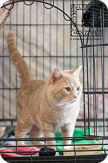 Domestic Shorthair Cat for adoption in Fredericksburg, Virginia - 15-635