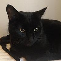 Domestic Shorthair Cat for adoption in New York, New York - Wednesday
