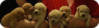 Golden Retriever/Labrador Retriever Mix Puppy for adoption in ST LOUIS, Missouri - 7 Monkeys