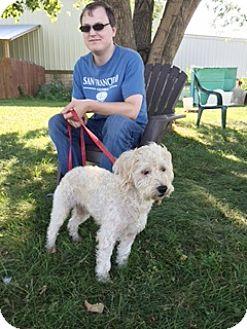 Miniature Poodle/Miniature Schnauzer Mix Dog for adoption in Elyria, Ohio - Fritzie