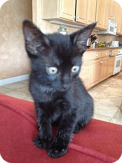 Domestic Shorthair Kitten for adoption in Tampa, Florida - Mouse