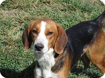 Beagle/Labrador Retriever Mix Dog for adoption in Liberty Center, Ohio - Theodore