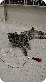 Domestic Shorthair Cat for adoption in Warren, Ohio - Twinkie