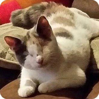 Calico Kitten for adoption in Long Beach, New York - CeCe