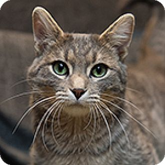 Domestic Shorthair Cat for adoption in Hillside, Illinois - Cricket-GOOD WITH CATS