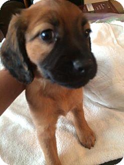 Golden Retriever/Spaniel (Unknown Type) Mix Puppy for adoption in Sanford, Florida - Whilhelmina