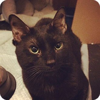 Domestic Shorthair Cat for adoption in Brooklyn, New York - Capp