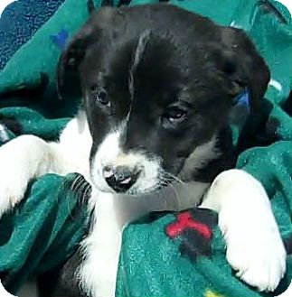 Border Collie Mix Puppy for adoption in Macomb, Illinois - Jax