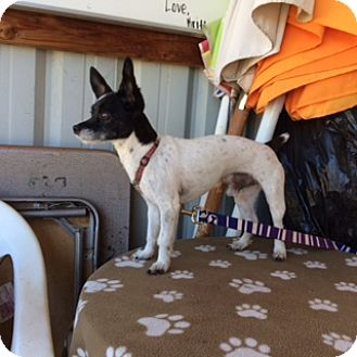 Rat Terrier/Terrier (Unknown Type, Small) Mix Dog for adoption in Elk Grove, California - ELI
