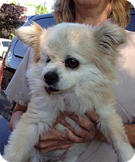 Pomeranian Dog for adoption in Bloomington, Illinois - Ferbie
